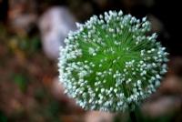 Soğan Çiçeği