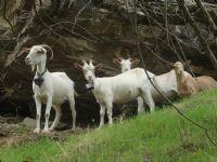 Keçiler...