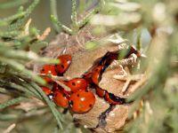 Uğur Böcekleri