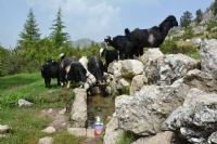 Susamış Keçiler