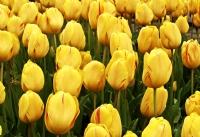 Sarı Laleler.