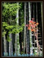 Bambu Ormanları .