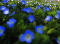 Mavi Çiçek Tarlası
