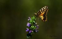 Kelebekçe Şiirler . . .