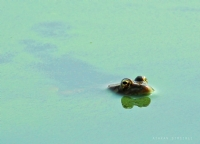 Kurbağa 2