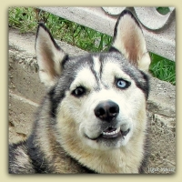 Portre Husky (sibirya Kurdu)