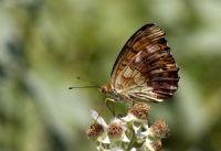 Böğürtlen Brentisi ( Brenthis Daphne)