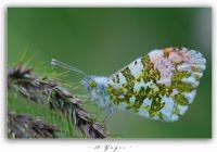 Turuncu Süslü Kelebek