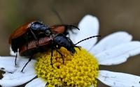 Böceklerin Aşkı