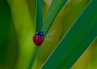 Uğur Böceği....