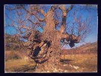 Tarihi Ceviz Ağacı