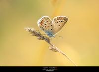 ... ::: Çokgözlü Gümüş Mavi ::: ...