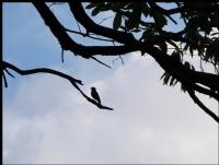 Kestane Ağacında