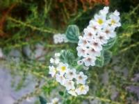 Bodrum'dan Mis Gibi Çiçekler