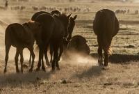 Yılkı Atları