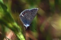 Kelebekçik