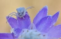 Beyaz Örümcek