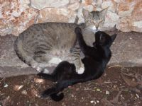 Ana Kedi Yavru Kedi