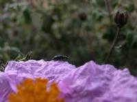 Laden Çiçeği Üzerinde