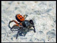Ladybird Örümceği