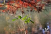Sonbahar Vurgunu Iı