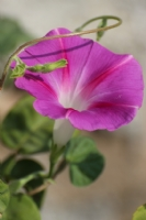 Gramofon Çiçeği