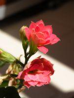 Saksı Çiçeğimiz