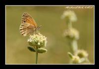 Nurhak Kelebeği