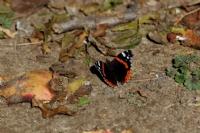 Kelebek (vanessa Atalanta)