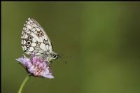 İlk_kelebek