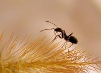 Ot Toplayan Karınca