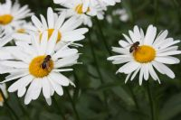 Üç Çiçek İki Arı