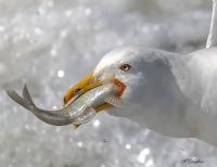 Balık ve Martı - Fotoğraf: Mahmut Çalışkan