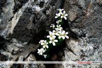 Bü Çiçek Türü, Kayaların Arasından Süzülüyor