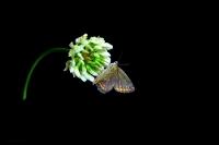 Kelebek Ve Üçgül
