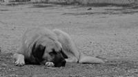 Uykusuz Köpek