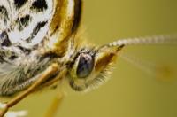 Kelebek...