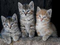 Üç Sevimli Kedicik ...