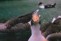 Ördek