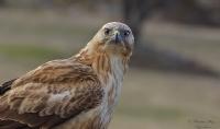 Kızıl Şahin Long-legged Buzzard / Buteo Rufinus
