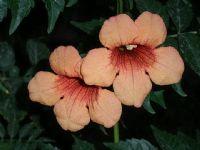 Acem Borusu Çiçeği