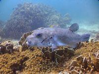 Dev Balon Balığı
