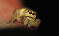 Zıplayan Örümcek