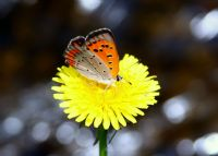 Turuncu Kelebek