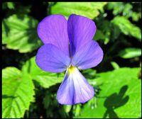 Yaban Çiçeği