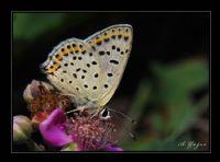 İsli Bakır Kelebeği