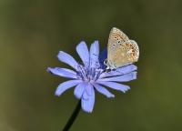 Menekşe Mavisi