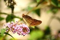 Kelebek Makro(kaçkarlar)_26