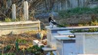 Mezarlıktaki Saksağan