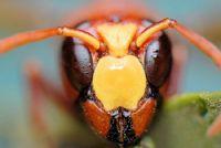 Ar�lar, Kar�ncalar (hymenoptera)